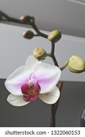White and pink orchid blooming in windowsill.