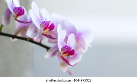 White and Pink Orchid Flowers with white background