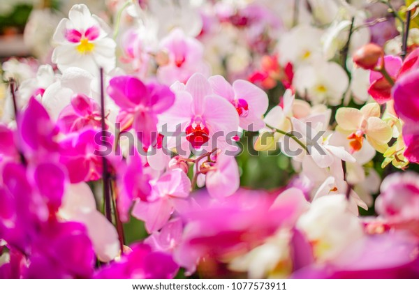 White Pink Orchid Flowers Phalaenopsis Wallpaper Stock Photo
