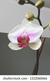 White and pink orchid in windowsill.