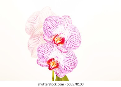 white pink orchids on white background ,lines ,red ,middle ,amazing ,lovely ,natural ,fresh ,spring flowers ,colorful ,bloom ,stem ,closeup ,macro ,petals, long plant ,many  ,decoration ,together
