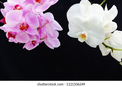 White and pink Orchids on a black background with space for text.