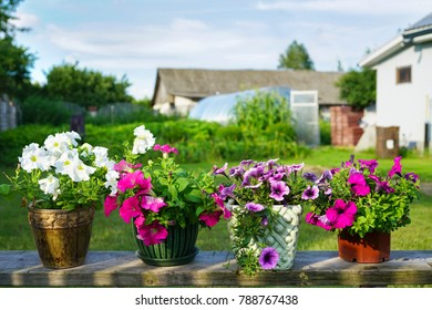 White and pink petunia flowers in flowerpots on a background of a garden plot in spring or summer in sunlight.