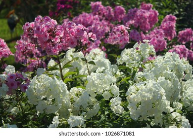 White and pink Phlox flower close up