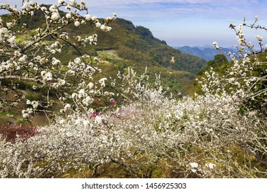 White and pink Plum Blossom Forest in Wash pit,Miaoli, Taiwan