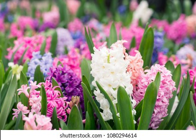 White Pink and Purple Hyacinth, or Hyacinthus, flowers in full bloom horizontal