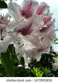 White and Pink Rhododendron blooms