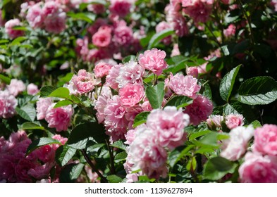 White pink rose bushes in rose garden