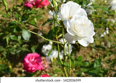 white and pink rose natural background