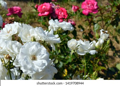 White and pink roses garden