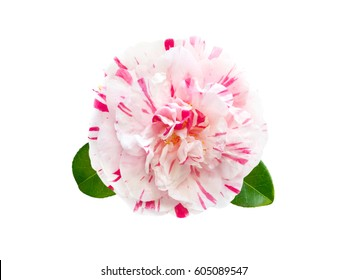 White and pink striped camellia formal double fpeony form flower with leaves isolated on white