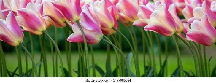 White and pink tulips background