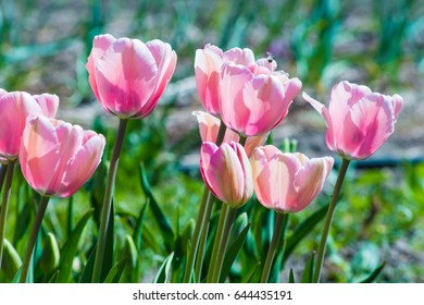 White pink tulips in the natural environment rejoice in the sun and insects