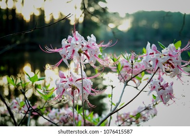 White and pink Wild Azaleas by the water at Lake Wheeler Park in Raleigh North Carolina, Triangle area, Wake County.