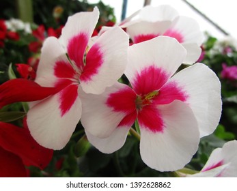 White and pink-red Geranium flowers 2019