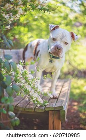 White Pit Bull Mix in Shelter
