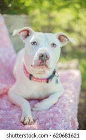 White Pit Bull on Pink Blanket
