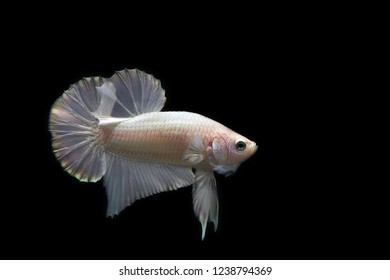 white Platinum Betta with black background. Fighting fish white perl color side view.