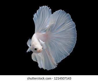 white platinum Betta fish,Siamese fighting fish,Betta splendens,on black background with clipping path