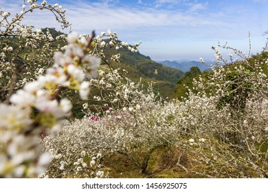 White Plum Blossom Forest in Wash pit,Miaoli, Taiwan