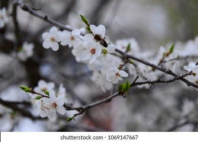 White plum blossom in spring