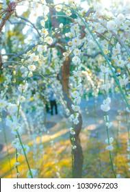 White plum blossoms in full bloom with bokeh background, taken at Kyoto City's Jonangu Shrine in Japan.