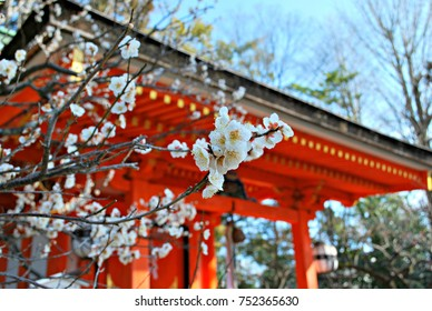 White plum blossoms with red shrine in the background, Kitano Tenmangu, Kyoto, Japan