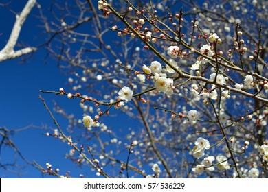 White plum of blue sky