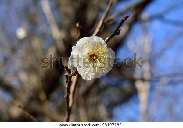 White plum flower