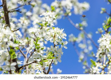 White plum tree flowers. Spring blooming branches in garden. Nature background