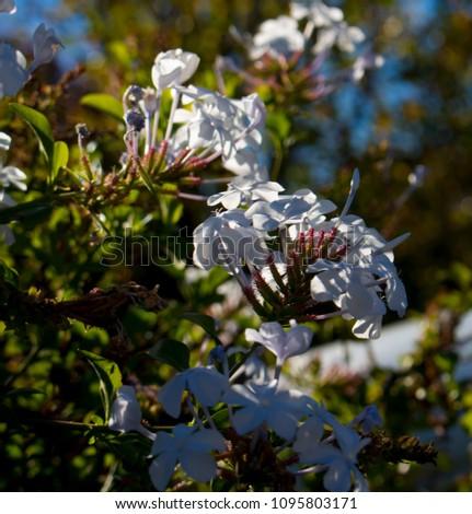 White Plumbago Auriculata Flowers On Hardy Stock Photo (Edit