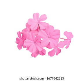 White plumbago, Cape leadwort, Close up bouquet White plumbago flower. Small pink flower on branch isolated on white background