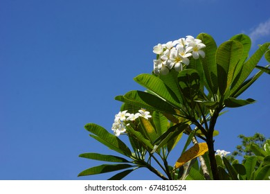 White plumeria against blue sky, with copy space