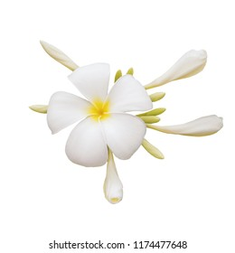 white plumeria bouquet flower isolated on white background included clipping path