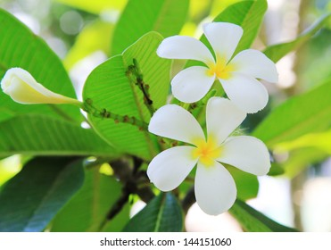 White plumeria flower, green leaves background
