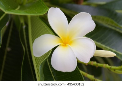 White plumeria flower, spa flower