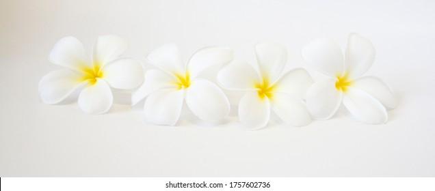 White Plumeria flowers for decoration