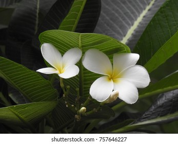 white Plumeria Flowers and leaves