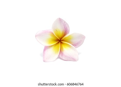 White plumeria flowers - pink on a white background.