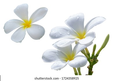 White plumeria flowers, tropical flowers, fragrant, popularly used as decorative and decorative flowers for inspiration of creativity and holidays.