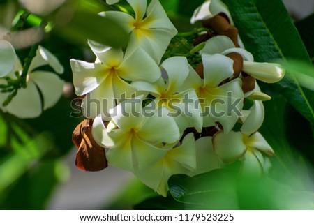 White Plumeria Frangipani Flowers On Natural Stock Photo Edit Now