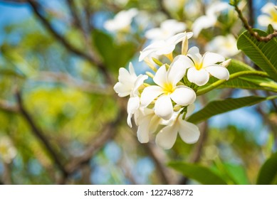 White Plumeria or frangipani. Sweet scent from white Plumeria flowers in the garden.Thailand