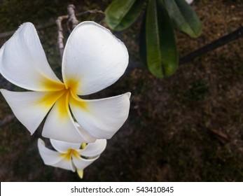 White Plumeria on Floor. Flower Background. Flower in Thailand.