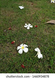 White plumeria floรwers and red palm fruits fall on green grass ground