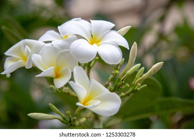 White plumeria scent is popular in the spa.