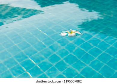 White plumeria in the swimming pool.