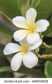 White plumeria tropical flowers on tree