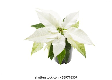 White Poinsettia Images Stock Photos Vectors Shutterstock