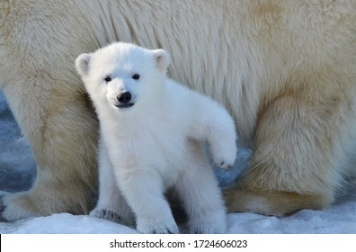 A white polar bear cub stands on its hind legs.