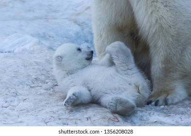 White polar bear mother with cub. Polar bear family on snow close-up.